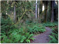Hoh Rainforest - Moos Trail