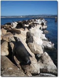 Seelöwenkolonie auf der Hafenmole von Monterey