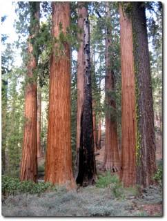 Mariposa Grove - Sequoia Wald