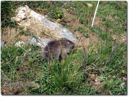 Ein Babymurmeli auf dem Trail...