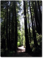 Old Coastal Road - Redwoods