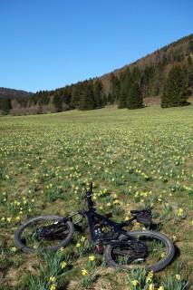 Osterglockenmeer im Jura
