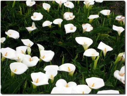 Verwelkte weisse Blumen
