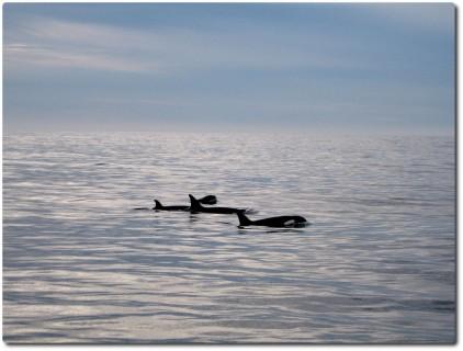 Killerwale - friedlich aber gefährlich...