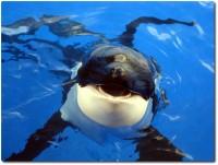 Zähnefletschender Killerwal !