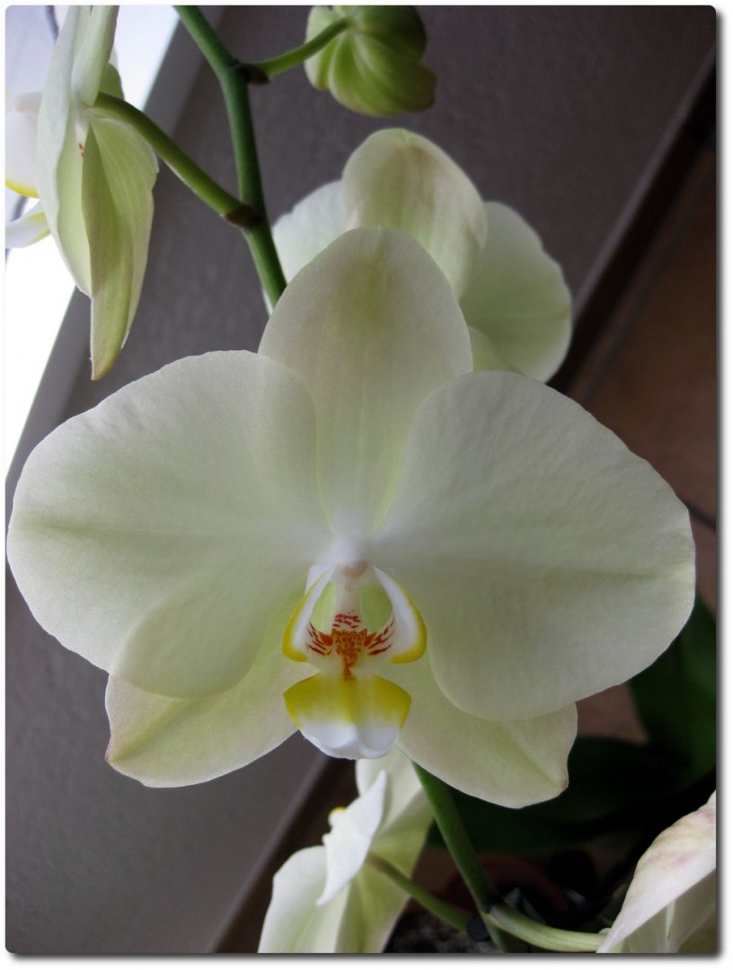 Orchidee zum Geburtstag