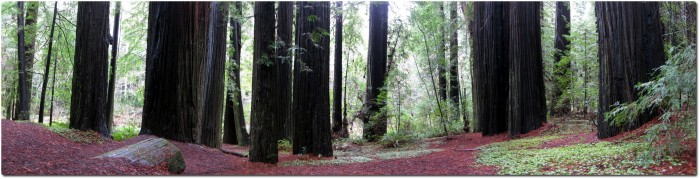 Panorama Redwoods