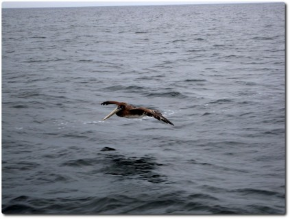 Pelikan auf dem Meer