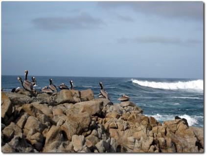 Pelikane an der Pazifikküste