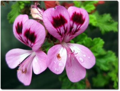 Blumen Pacific Grove 01