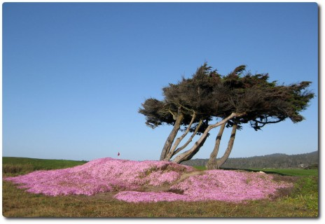Point Joe Cypress im Blumenmeer