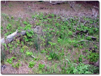 Point Lobos - Poison Oak