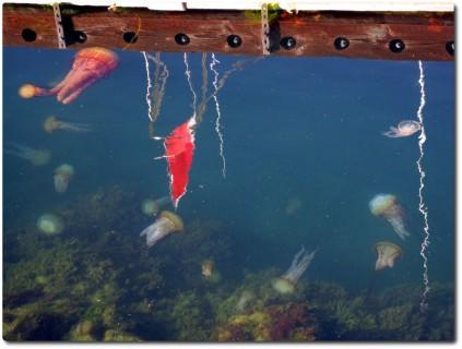 Quallen im Hafenbecken von Monterey