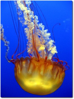 Monterey Bay Aquarium - Quallen