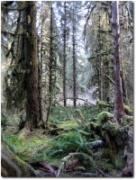 Hoh Rainforest - Gespengstisch...