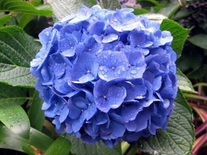 Rhodoendren Blau