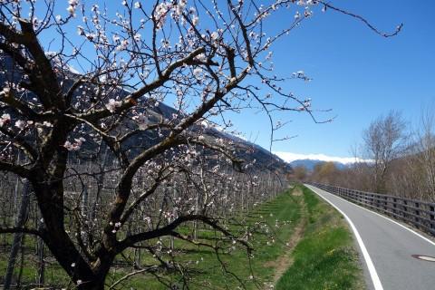 Obstblüte am Radweg