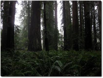 Redwood Bäume und Farn