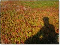 Schatten vor herbstlichen Iceplants