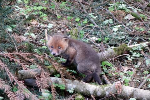 Junge Füchse im Wald