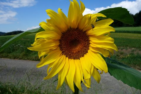 Sonnenblume 2016