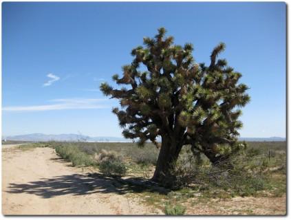 Mojave Wüste und typische Bäume