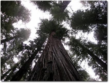 110m hoher Redwood Baum - Krone