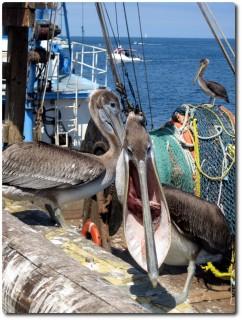 Pelikan mit Fisch... Bähhhh!