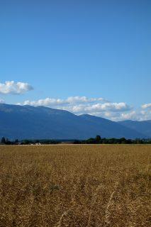Weizen im Kanton Genf