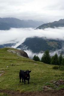 Walliser Kühe im Nebel