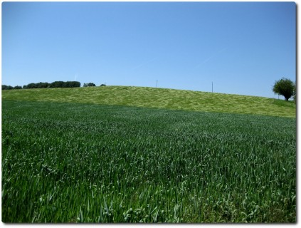 Wind im Weizenfeld