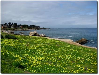 Gelber Blumenteppich in Monterey